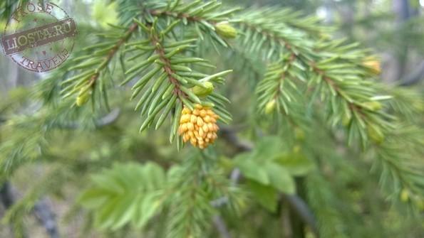 Picea ×fennica - ель финская фото
