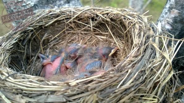 гнездо дрозда птенцы