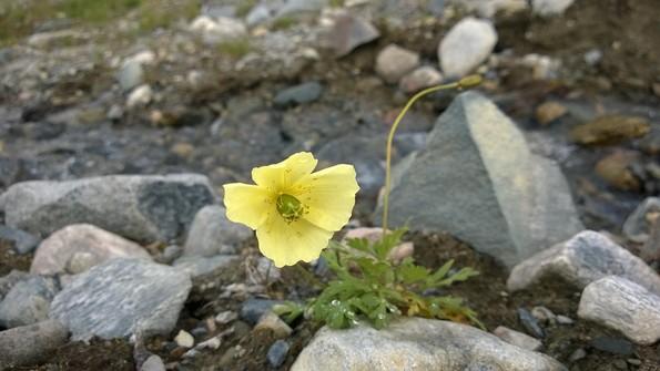 Цветы Заполярья Мурманская область