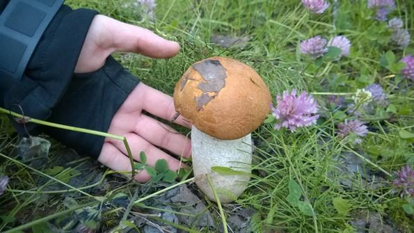 Живые символы Кольского севера - грибы